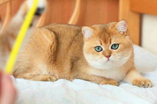 猫里面的金渐层是什么意思图片