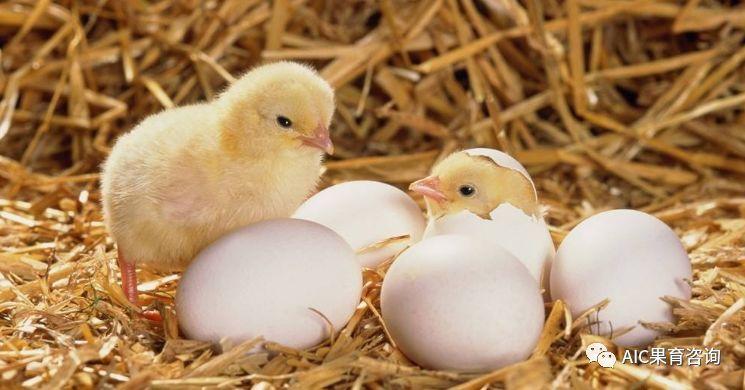 梦见野鸡蛋孵化成小鸡
