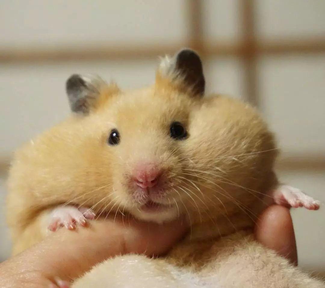 十一区的小仓鼠shingen,吃东西的样子好乖啊图片