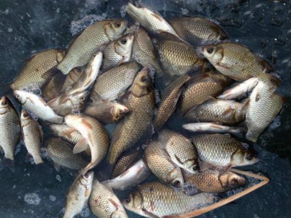 冰钓鲫鱼有技巧只要用心去研究一下也能像夏天一样连竿上鱼!