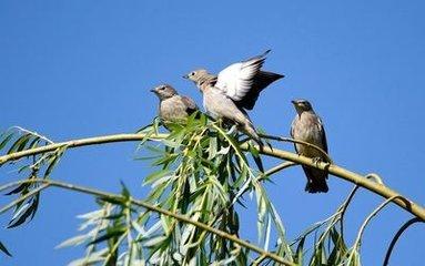 美国男人的鸟_壁纸 动物 鸟 鸟类 雀 383_240