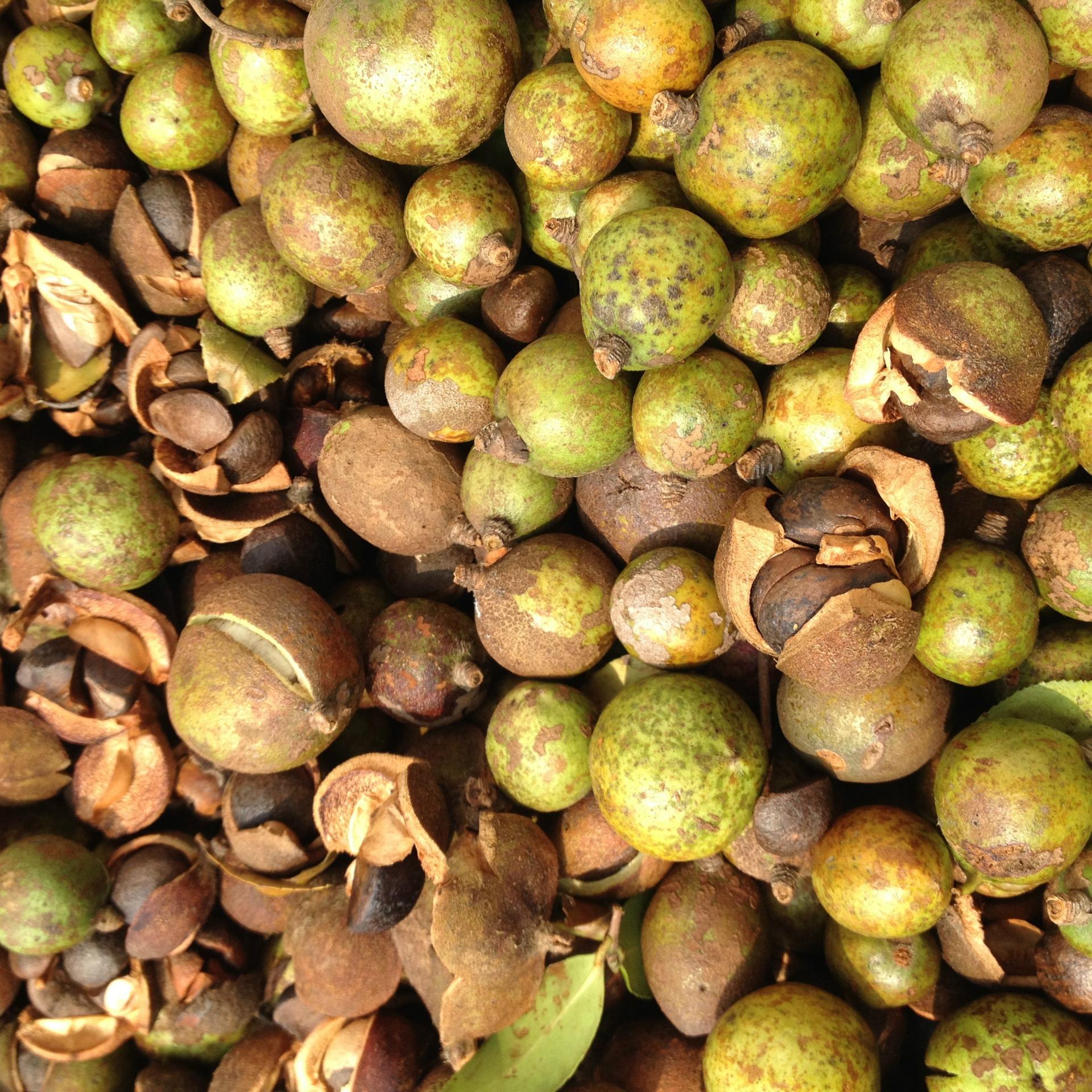 亚临界低温萃取技术在油茶籽油上的应用_茶油