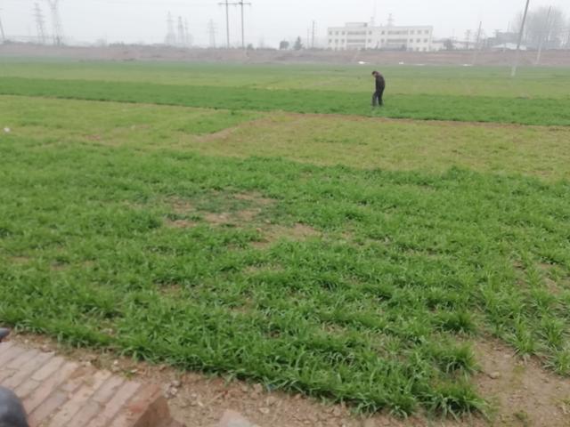 德州牛仔 水稻亩产比小麦高出许多,种植面积也超过小麦