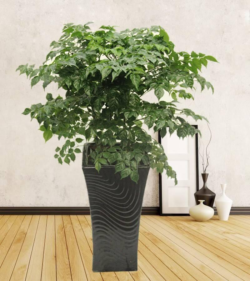 幸福树冬天要浇水吗图片