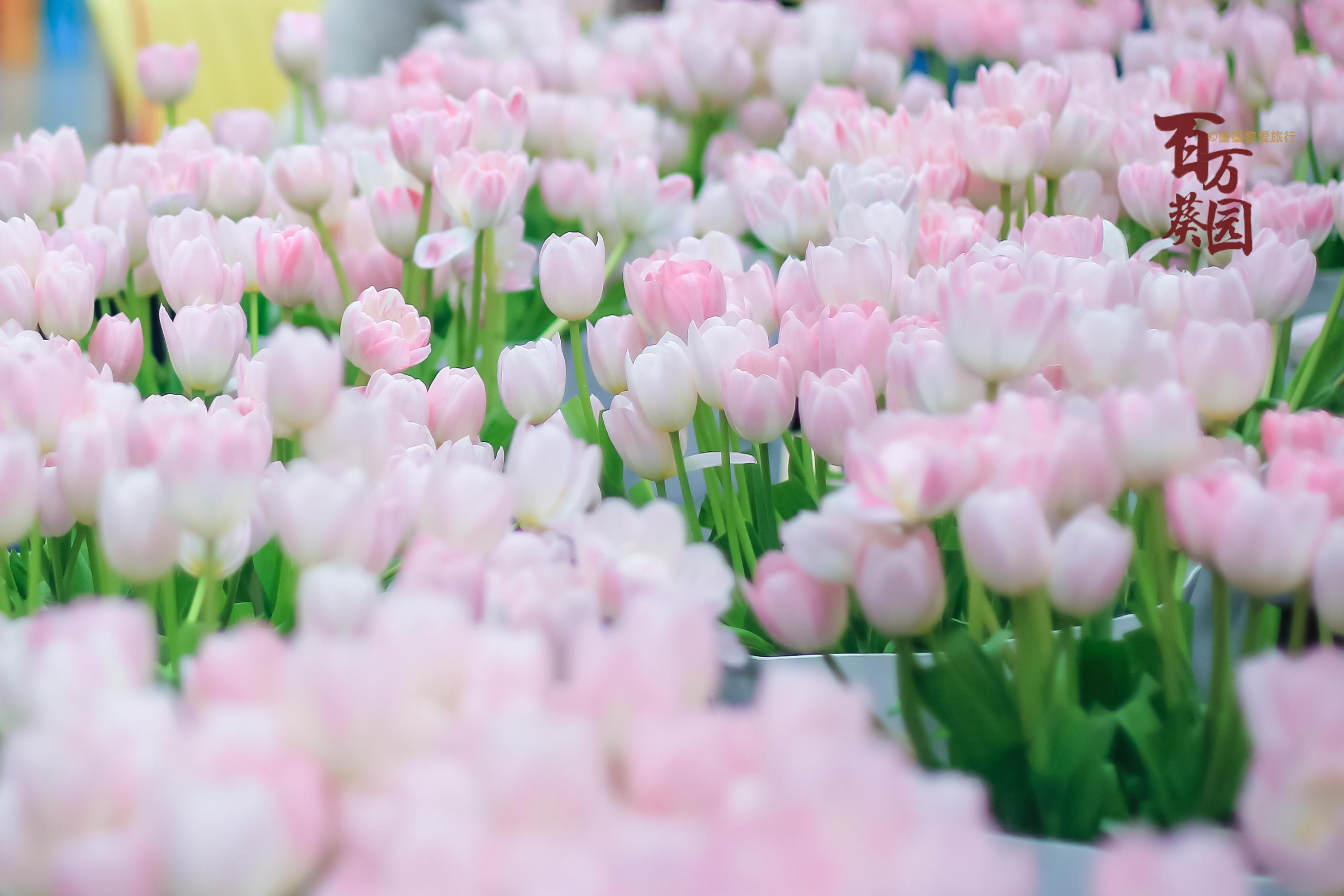 广州赏花之旅推荐,郁金香,薰衣草,英伦玫瑰,让你沉浸在花的海洋