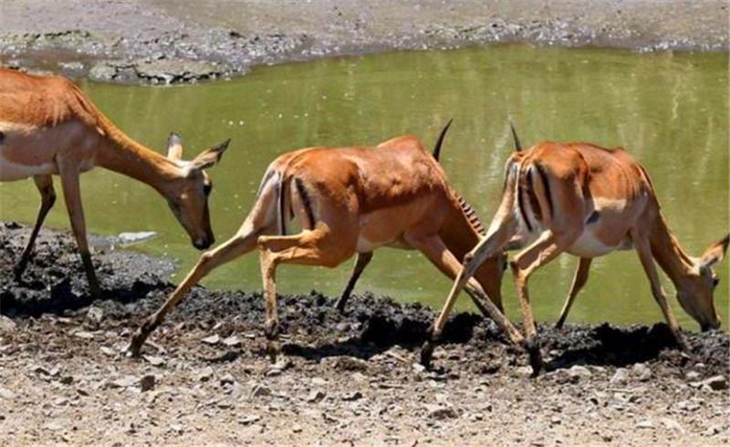 斑羚带着孩子们来饮水,突然遇到的情况,让其惊慌失措接着悲鸣