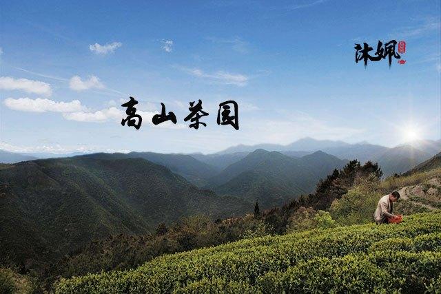 挑选白茶如何判断白茶的外观特点_叶片