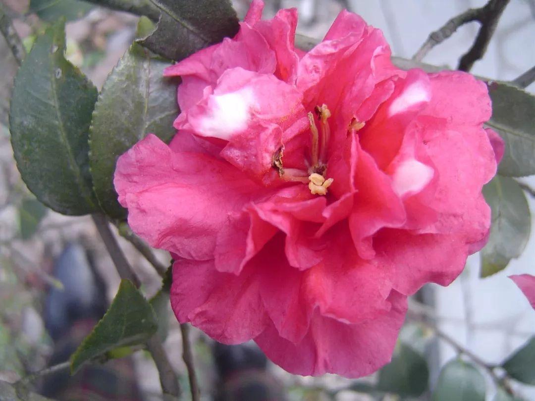 【绿意生活】花花世界丨貌似梅花是茶你是深秋隆冬时节我心中最美的云彩