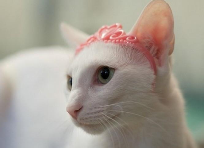 东方短毛猫图片
