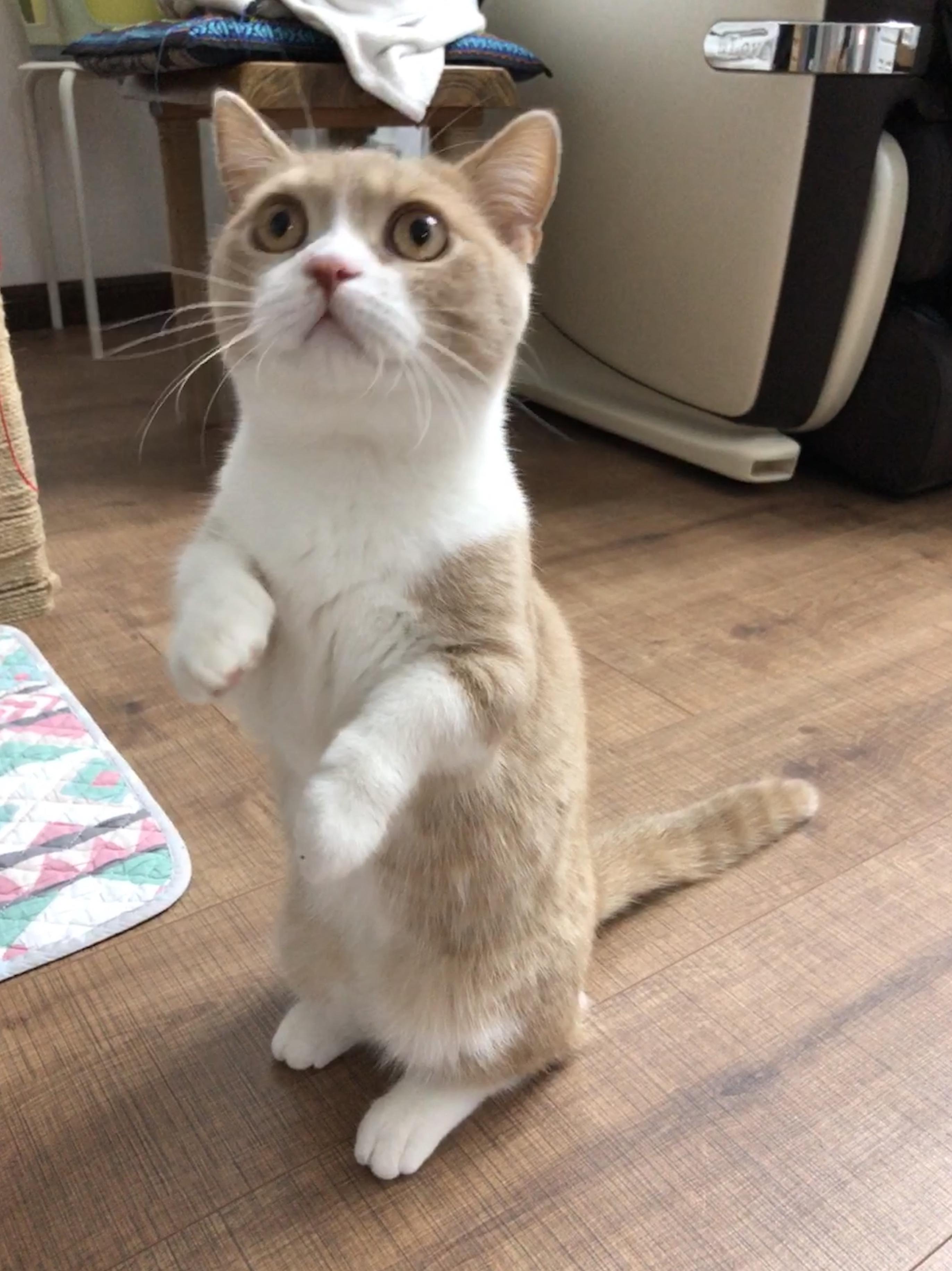 矮脚猫刚出生腿的样子图片