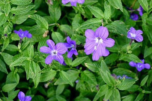 园林观赏花卉——布洛华丽的栽培技术
