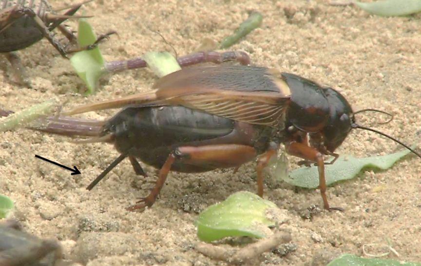 另一类蟋蟀——双斑蟋跟双针蟋一样,也是产卵在土中,箭头指向产卵器图片