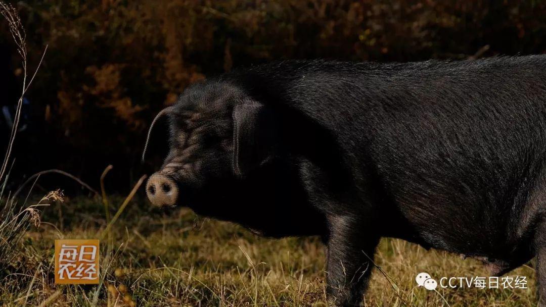 凉山州黑猪上央视啦【视频】_大凉山