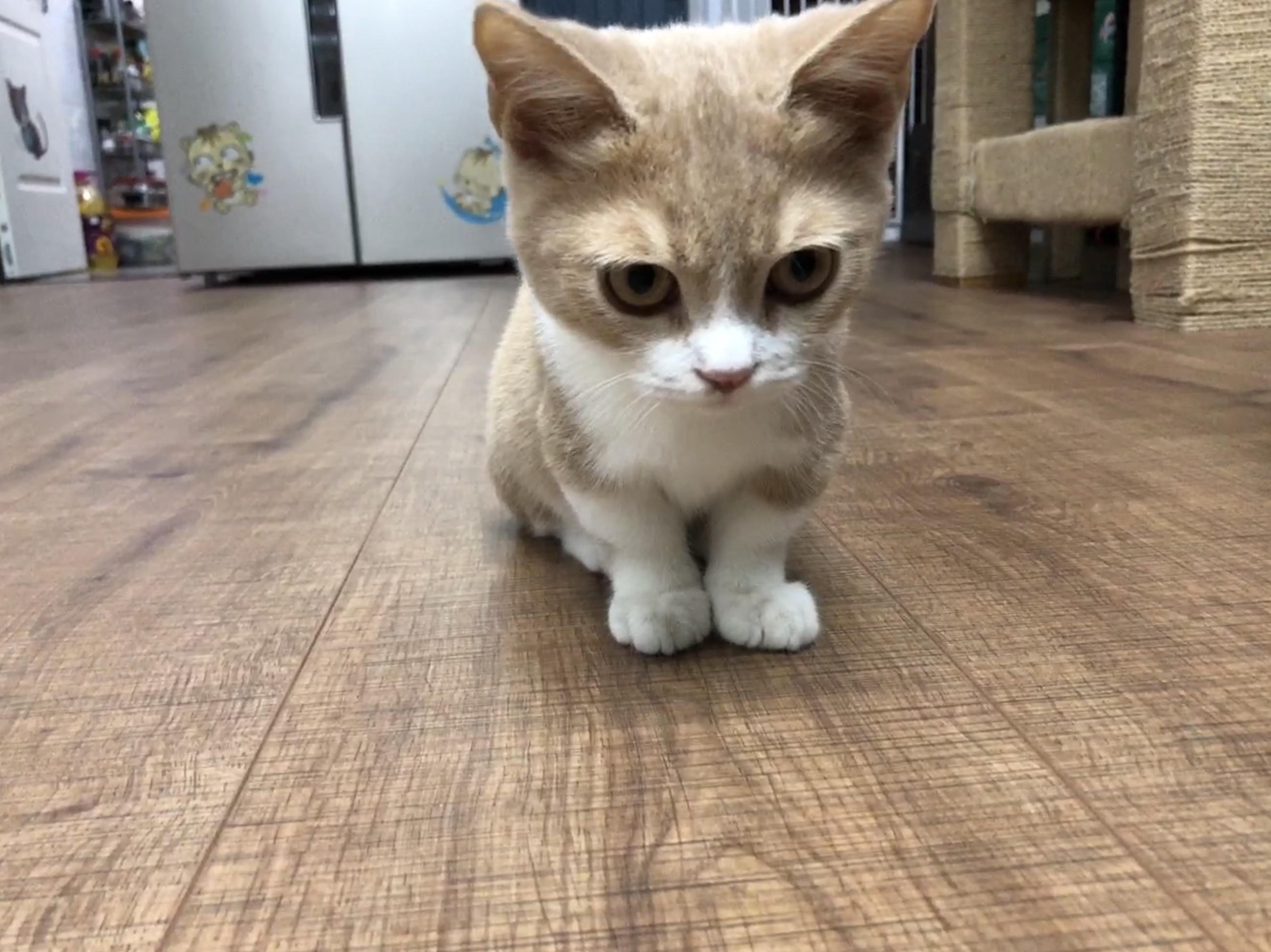 矮脚猫的特点图片