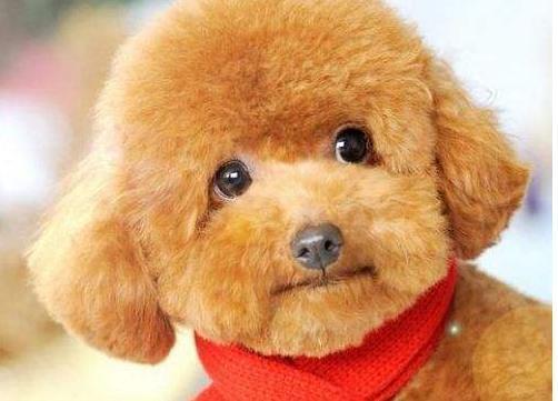 泰迪犬身体缺乏微量元素的5个特征,铲屎官要重视!