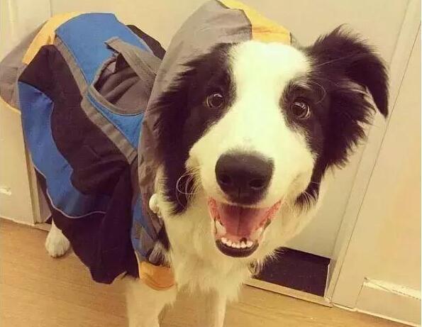 小編告訴你:一只健康的狗狗,一天需要拉幾次便便! 萌寵 第9張
