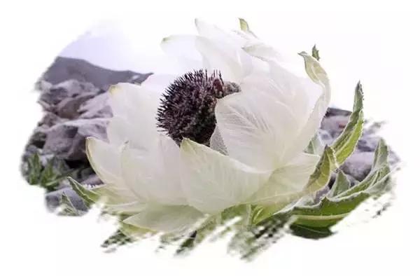 雪莲花的花语和传说图片