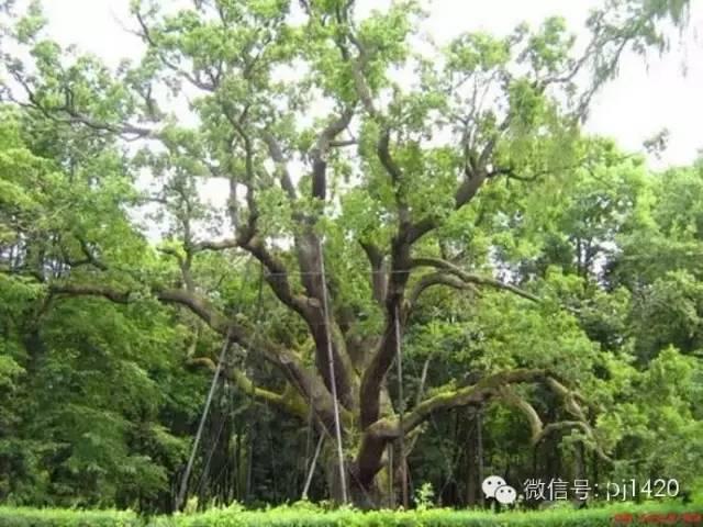 震撼人心的古木 全球最著名的十六棵树