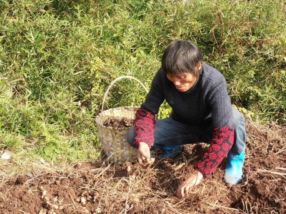 曬干白蘿卜怎樣腌菜 [畝產量有1.5噸,只能曬干了做腌菜,很多農民都懶得去挖]