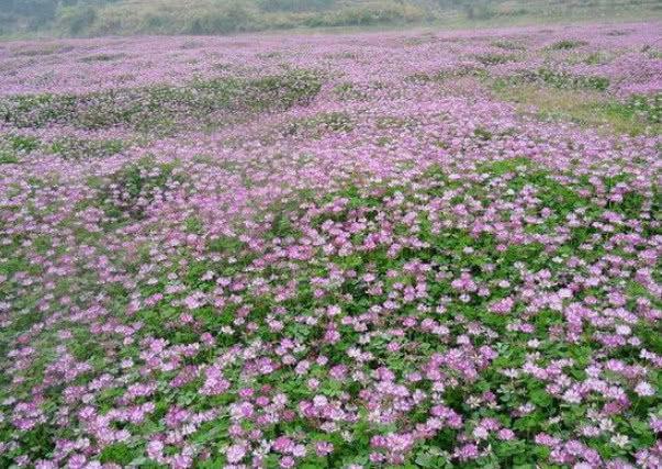 常滿山開的一種花,從前農村當菜吃,今價值寶貴農民少不了它_農村庭院種花圖