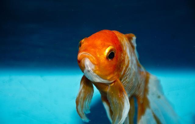鱼的记忆不止7秒,比如金鱼可以达到几个月