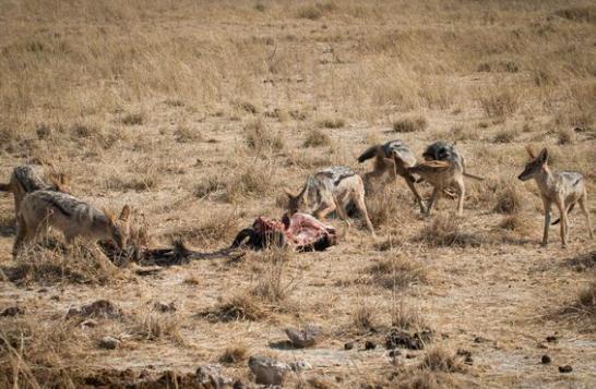 胡狼真不作不死竟偷吃狮子的肉,狮子回来发现肉少了立刻怒杀胡狼