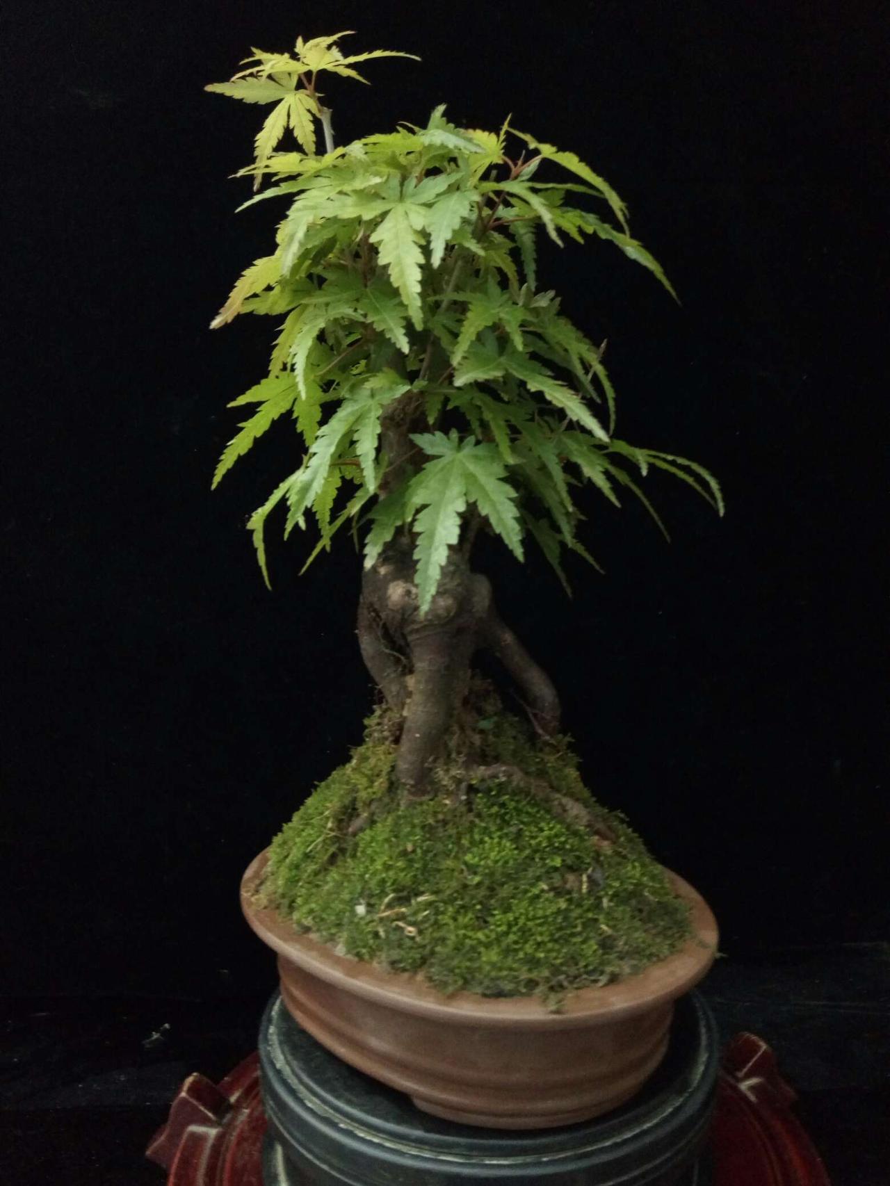 适合摆造型的可爱植物,放在家里很有意境,太喜欢了