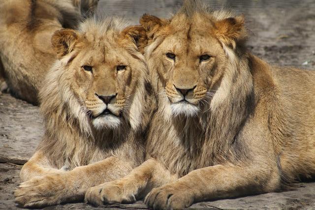 10只狮子和两只老虎打架 会出现什么情况?