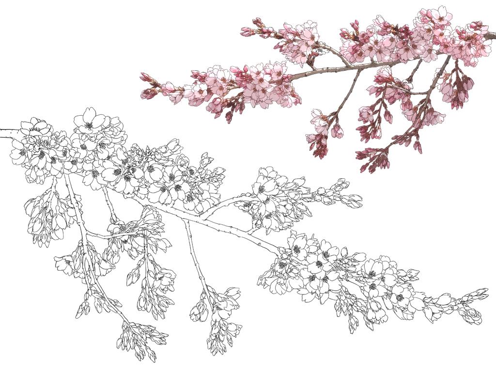 樱花长短常唯美的一莳花,二次元绘画中经常呈现.图片