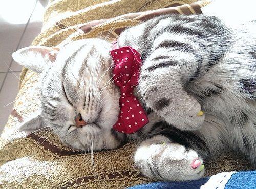 猫咪分享:美短拉稀需要补充营养吗,猫
