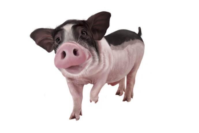 一個關于豬的笑話