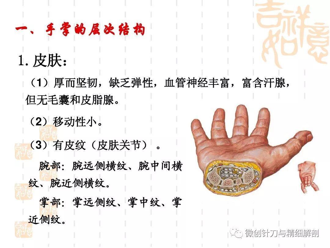手掌的精细解剖
