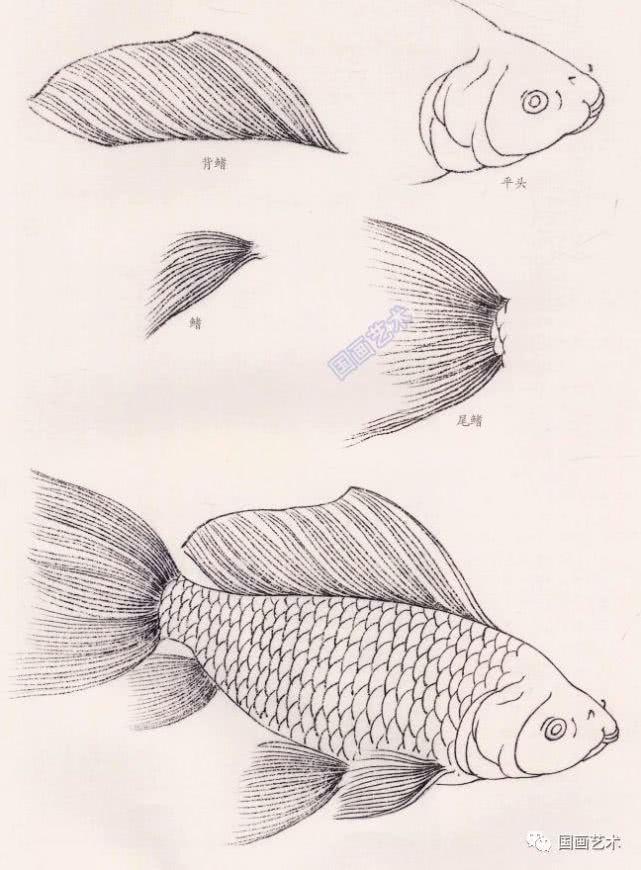 金鱼线描图示,工笔鱼画法步骤教程,金鱼的画法技巧详解图片