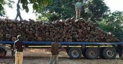赞比亚血檀为什么会爆火,木材优缺点是什么-黄杨木雕