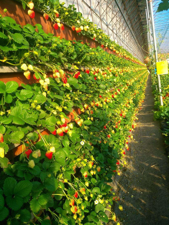 胶南草莓采摘最佳选择,青岛开发区哪里有草莓采摘?