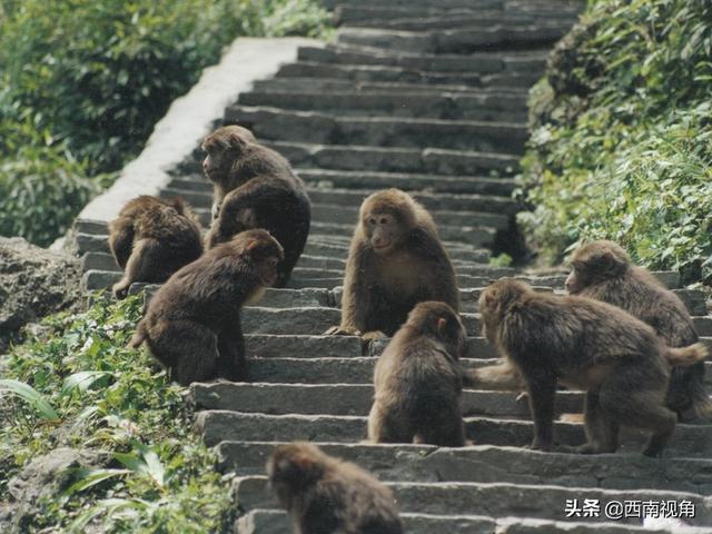峨眉山猴在山林中不慎跌落受伤引发游客关心和关注 已捕获并救治