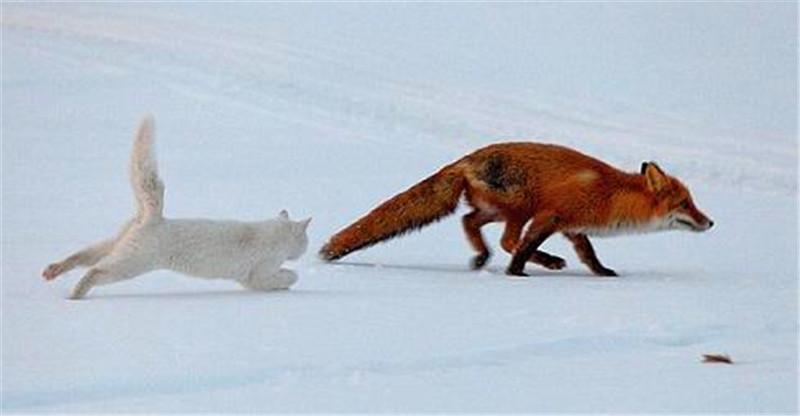 狐狸突然就被追得屁股尿流,人们看清罪魁祸首后,觉得太意外
