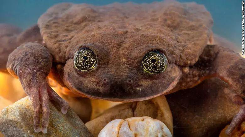世界最孤独青蛙脱单了