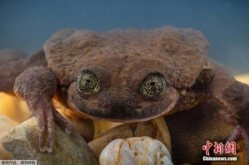 世界最孤独青蛙它将和雌性青蛙朱丽叶相亲
