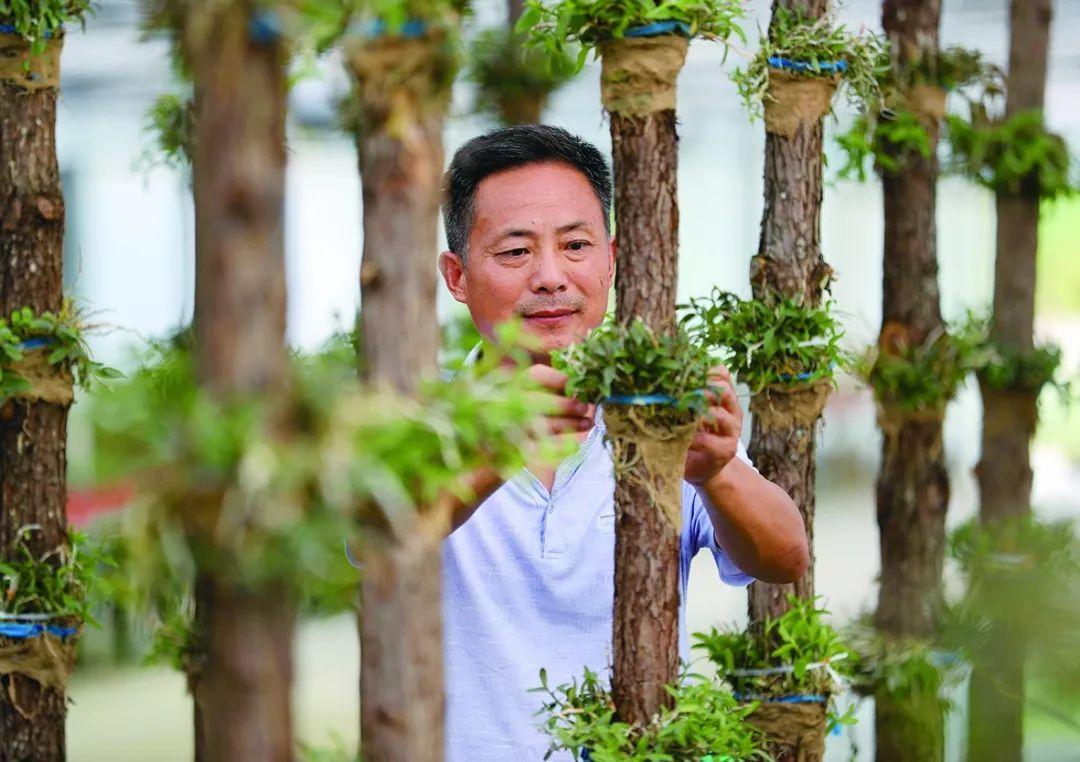 村民在管护原木种植的铁皮石斛图片