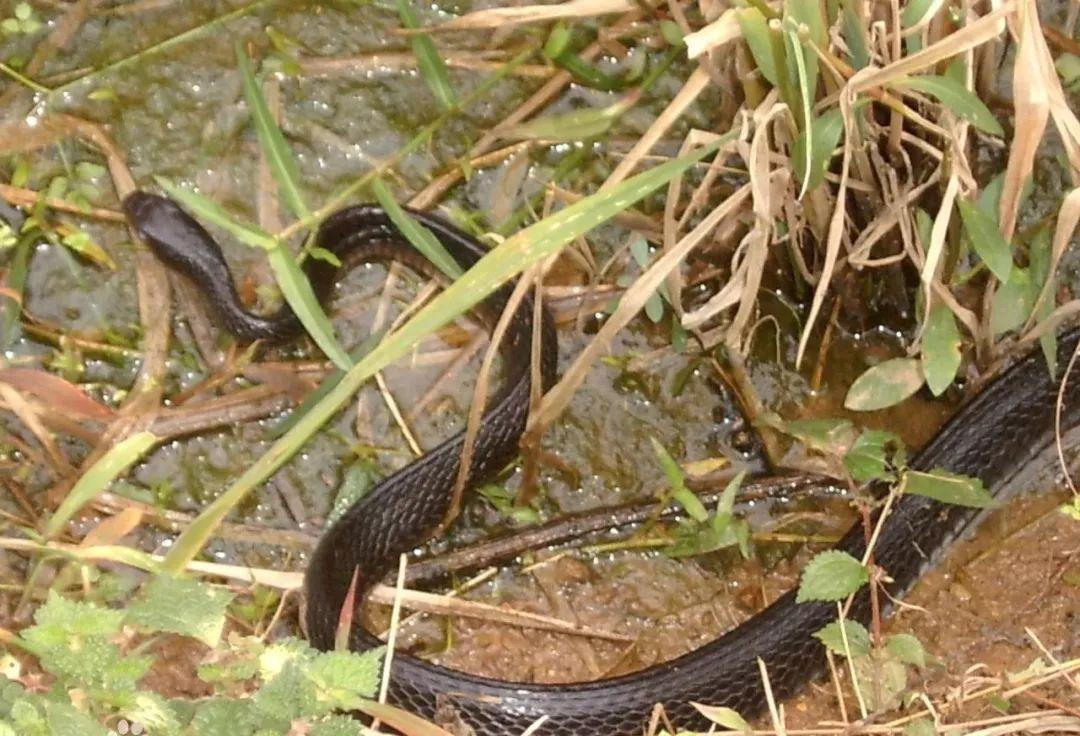 草头蝮蛇图片