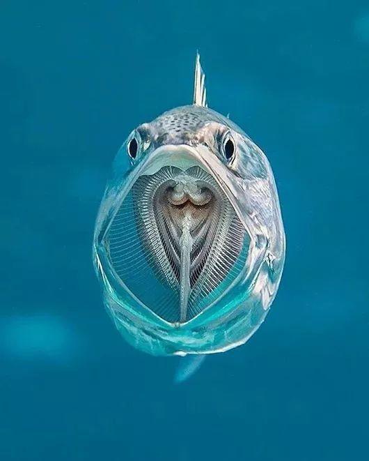 条纹鲭鱼张开嘴