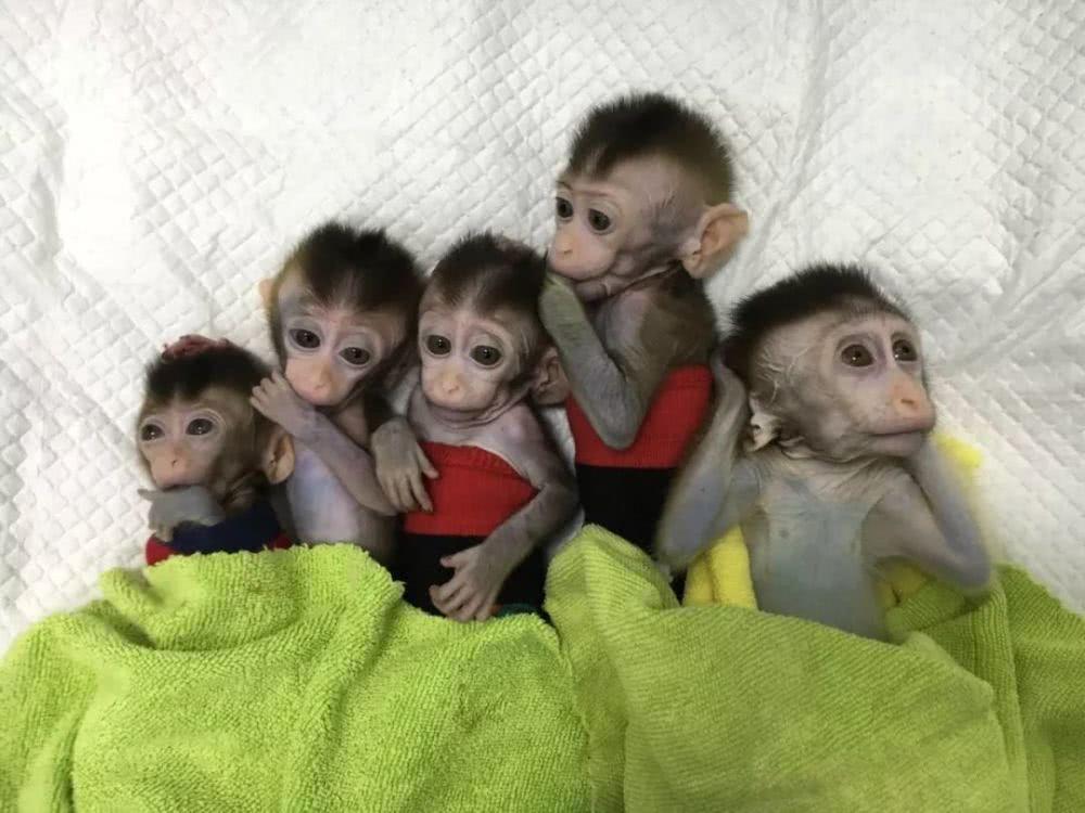 【钛晨报】世界首批体细胞克隆疾病模型猴在中国诞生