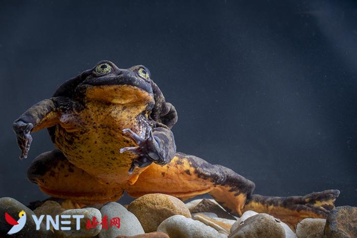 """""""世界上最孤独的青蛙""""--历时10年科学家终于为其找到对象避免绝种"""