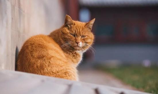连故宫宫猫