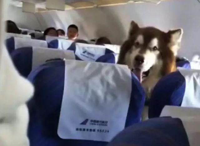 情感抚慰犬确实可以进机舱,但阿拉斯加会是情感抚慰犬么
