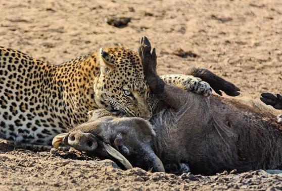 花豹剛把疣豬困樹上,鬣狗就聞到了肉味,強悍的二哥卻被難住