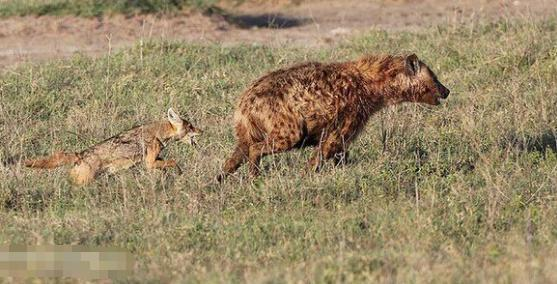 胡狼被逼無奈掏肛鬣狗,不料被一口咬死,實情卻讓人急眼想抽鬣狗
