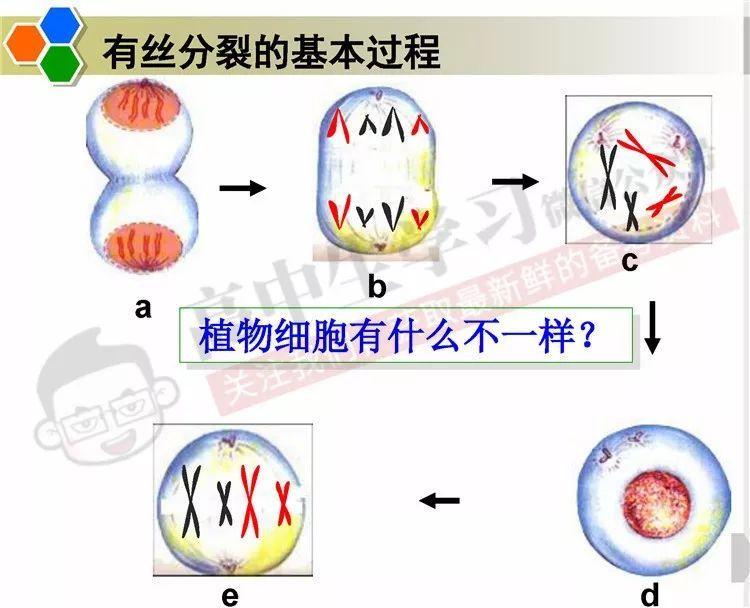 高中生物细胞分裂考点
