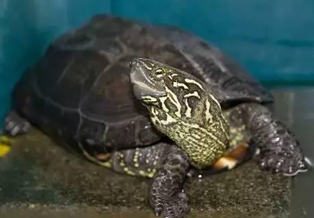 海洋科普(631)| 淡水龟